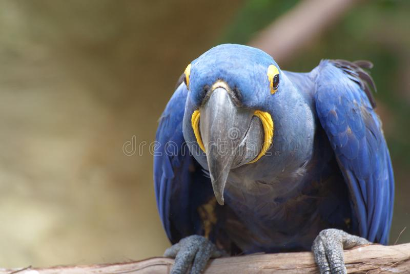 Closeup image of isolated Hyacinth Macaw royalty free stock images