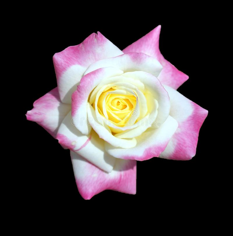 Purple, white and yellow colored rose flower on dark background royalty free stock photos