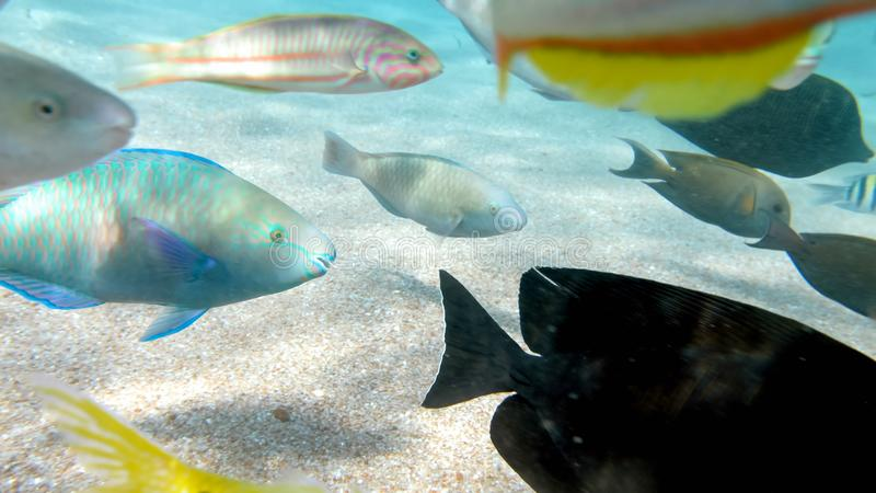 Closeup image of lots of colorful fishes swimming around the coral reef. Perfect shot for illustrating marine nature or. Closeup photo of lots of colorful fishes royalty free stock images