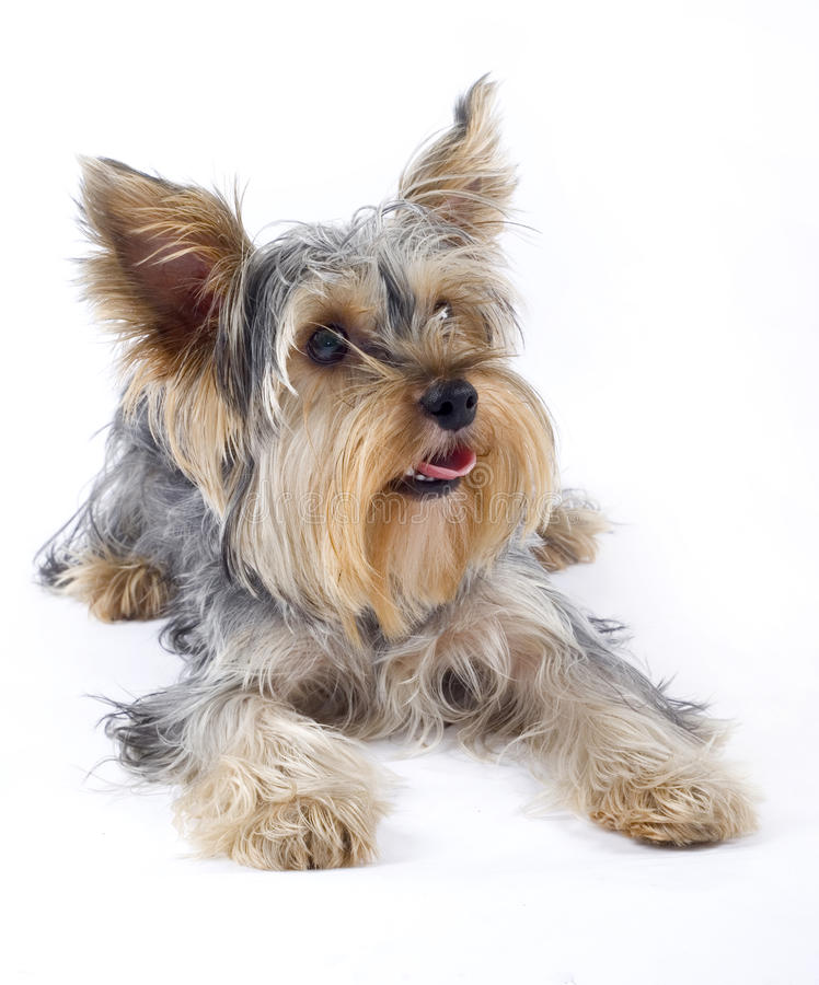 Closeup image of small dog royalty free stock images