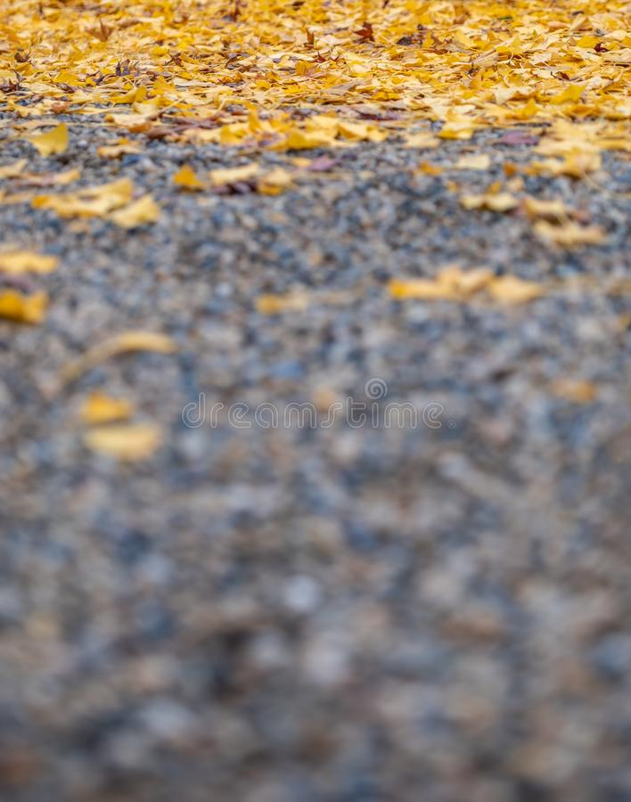 The street with yellow ginko leaves cover in autumn. Closeup image of the street with yellow ginko leaves cover in autumn stock photos