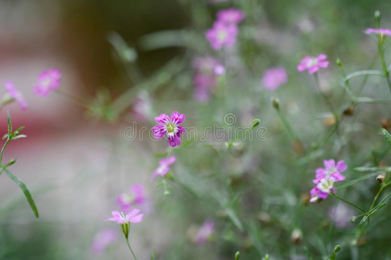 Closeup image of violet lavender flowers in the field in sunny d royalty free stock images