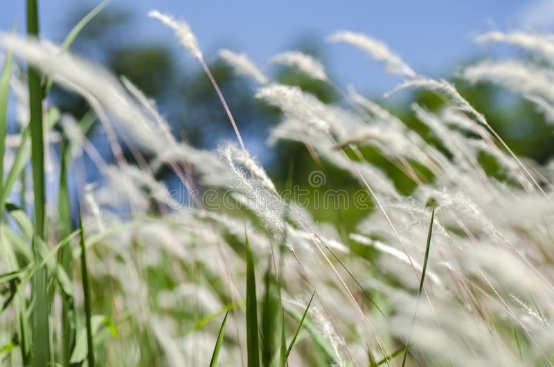 Closeup image of white grass flower call Cogongrass Imperata cy royalty free stock image