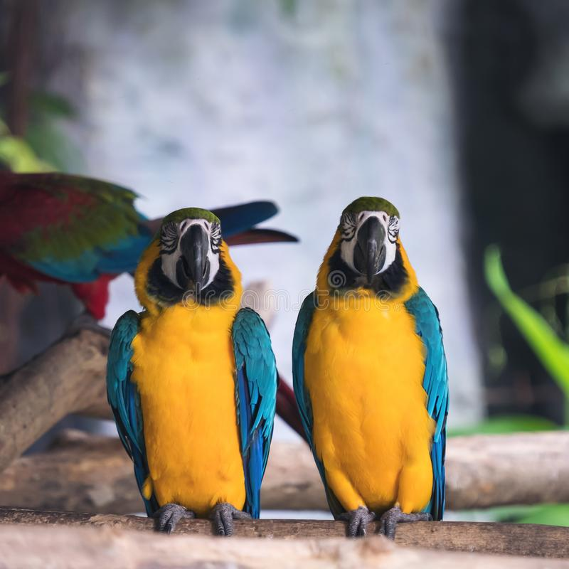 Yellow and blue macaw ara chloropterus birds standing on wood perch stock images