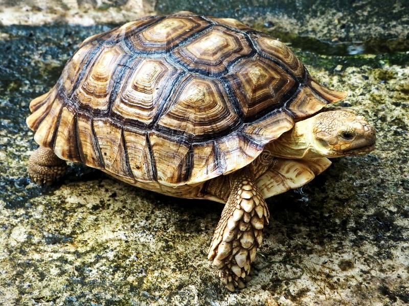 A Young Turtle on the Wet Ground. Closeup image of a young turtle on the wet ground royalty free stock photo