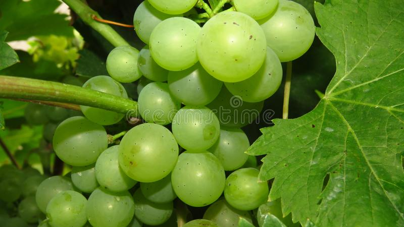 Closeup of immature green vine grape. Green grapes. royalty free stock photography