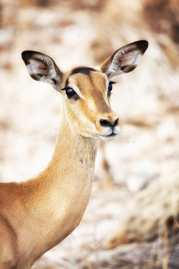 Closeup of Impala in South Africa royalty free stock images
