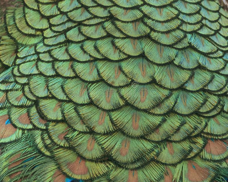 Closeup of Indian peacock tail feathers. royalty free stock photo