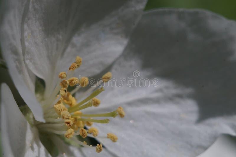 closeup Inom blomman för äppleträd I zonen av skärpastamens, pistillar och pollen royaltyfri bild