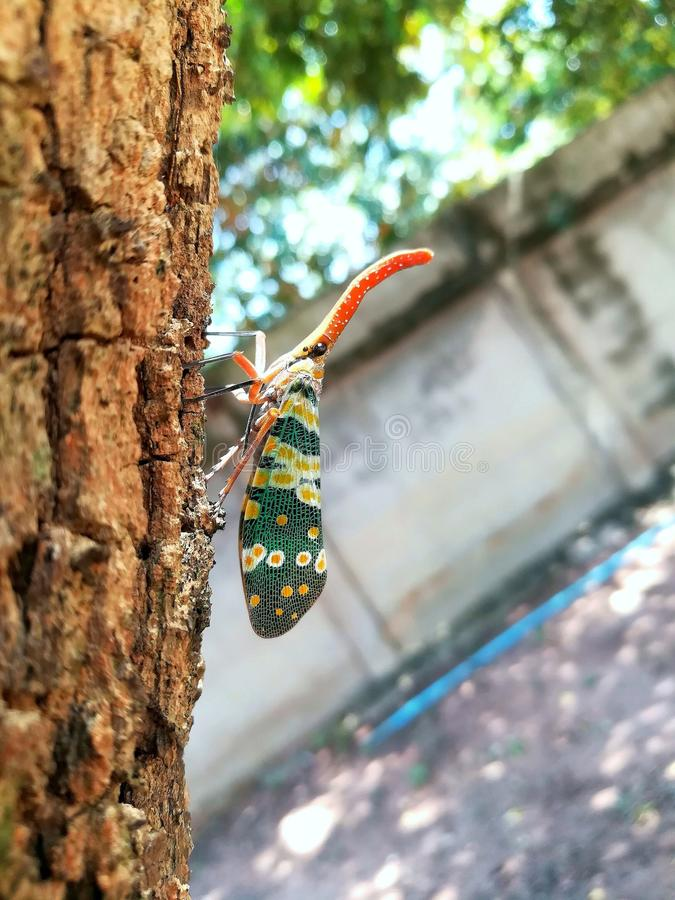 Closeup of insect Lanternfly Pyres candelaria stock image