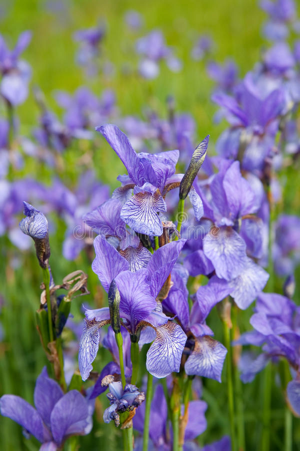Closeup of iris plant royalty free stock images