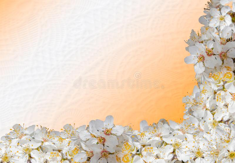 Closeup isolated photo of a  fruit tree white flowers royalty free stock photography