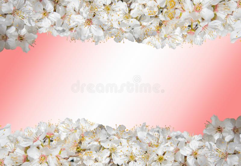 Closeup isolated photo of a  fruit tree white flowers royalty free stock image