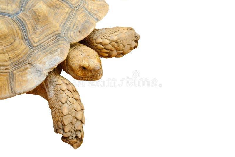 closeup isolerad sköldpadda royaltyfri fotografi