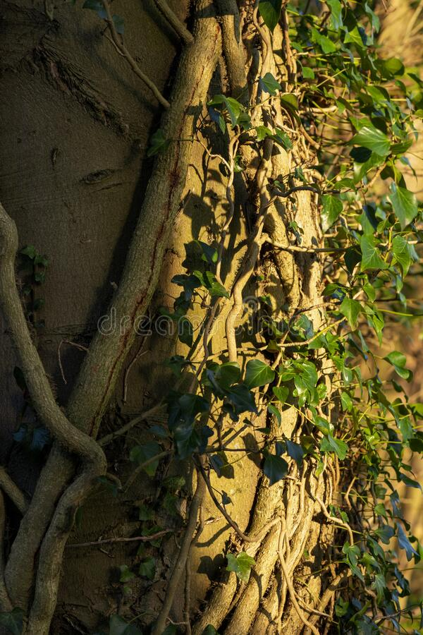 Closeup of ivy growing on tree trunk royalty free stock photo
