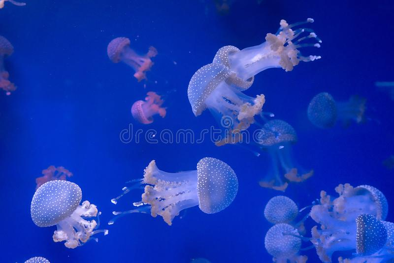 Closeup of Jellyfishes, in blue neon light stock photo
