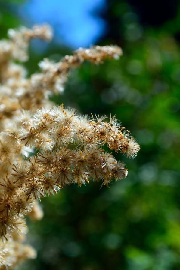 Closeup Joe Pye Weed seed clusters. Joe Pye Weed, Eupatorium purpureum, seed clusters look fuzzy; hairy filaments help the seeds spread on the wind. It`s an royalty free stock photos