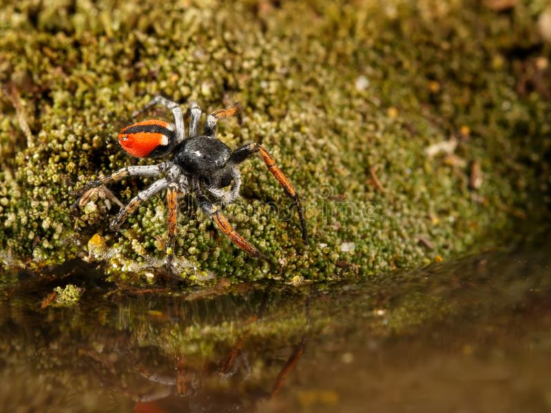 Closeup Jumping spider  stand over water on moss green. royalty free stock images