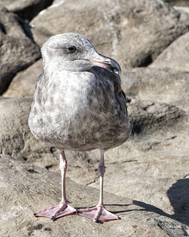 Closeup juvenile Herring Gull stock photos