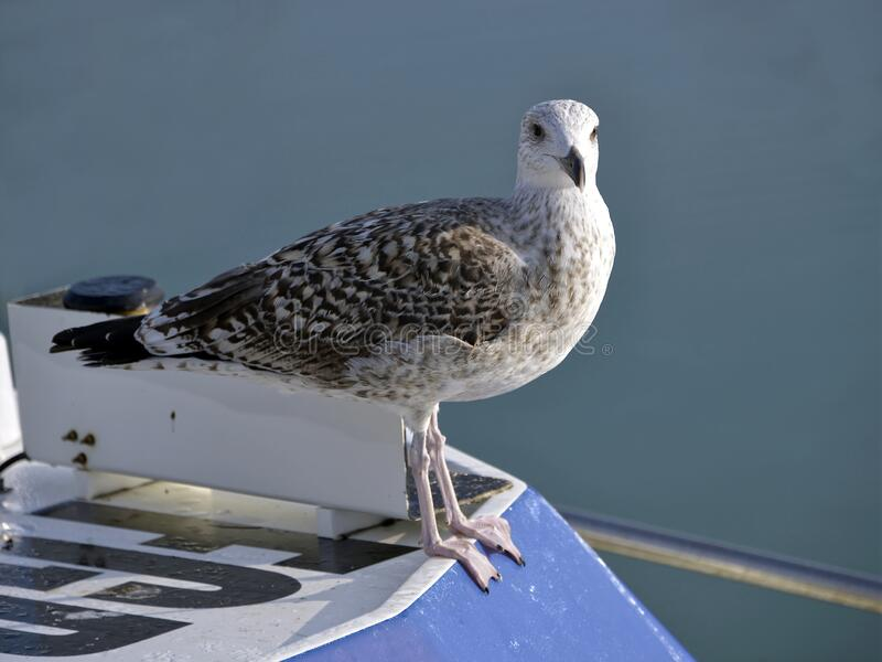Closeup of Herring gull perched on boat stock photo