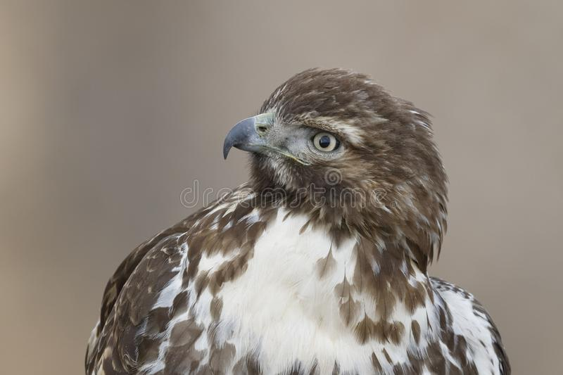 Closeup of a Juvenile Red-tailed Hawk - New Mexico stock image