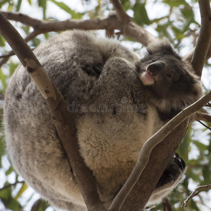 Curious koala baby looking out mother`s arms stock photos