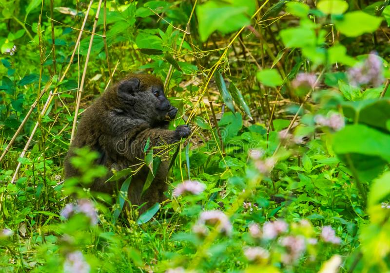 Closeup of a Lac Alaotra bamboo lemur eating leaves, critically endangered primate specie from Madagascar royalty free stock photography