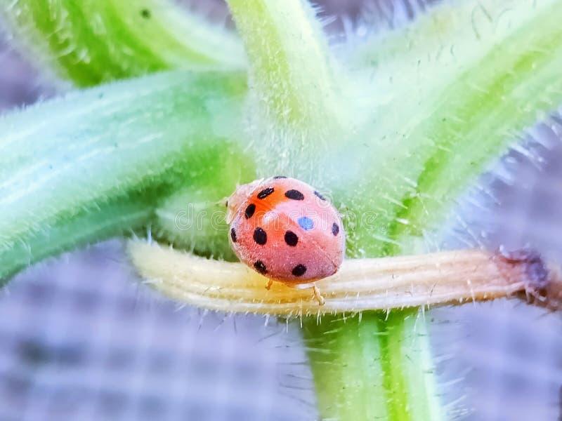 CloseUp of ladybug royalty free stock image