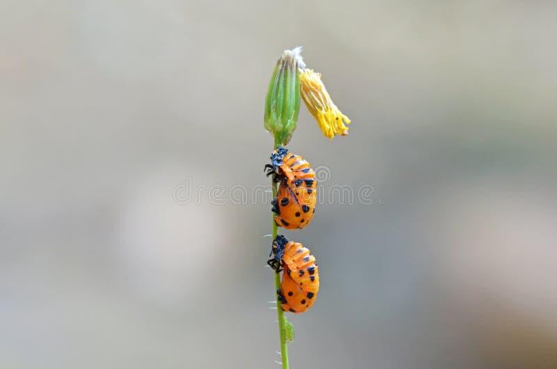 The ladybug pupa. The closeup of a ladybug larva and pupa stock photo
