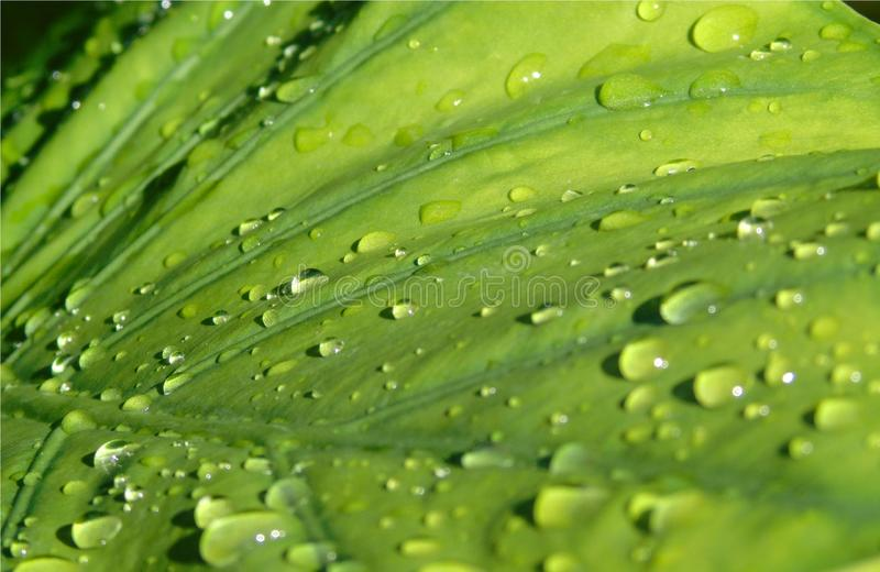 Closeup of a large Alocasia leaf with drops of rain sliding over it, background of a plant after the rain. Closeup of a big green leaf of an Alocasia plant with stock image