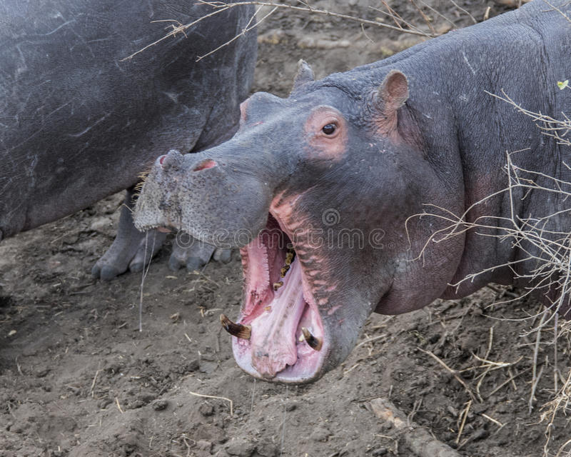 Closeup of large hippo head with mouth wide open showing teeth, standing on land stock photo