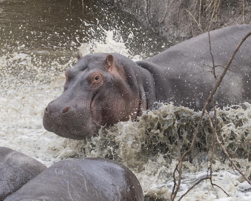 Closeup of large hippo partially submerged in water after crashing into the river from land stock image