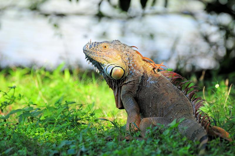 Closeup of a large iguana. Portrait of a large green iguana standing by a lake in a South Florida golf course royalty free stock photos