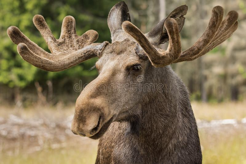 Closeup portrait of a large male moose buck stock image