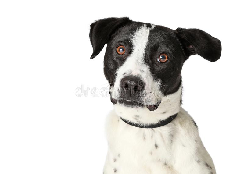 Closeup Large Mixed Breed White Dog Black Spots stock image