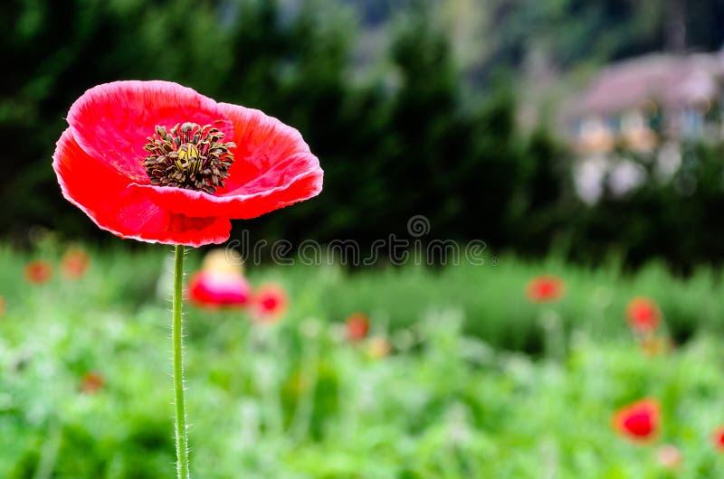 Download Closeup Of A Large Red  Papaver Somniferum L Stock Image - Image of capsule, natural: 36574637