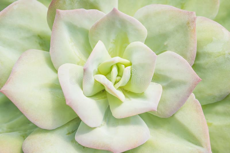 Closeup of large rosette of light green succulent leaves tipped stock photography