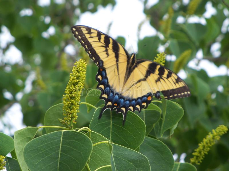 Closeup of a large Yellow Tiger Swallowtail Butterfly. In a Chinese Tallow tree royalty free stock image