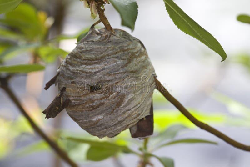 Closeup of large yellowjacket wasp nest royalty free stock photo