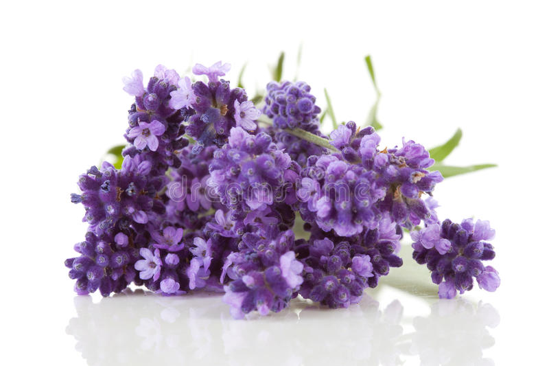 Closeup of lavender royalty free stock photo