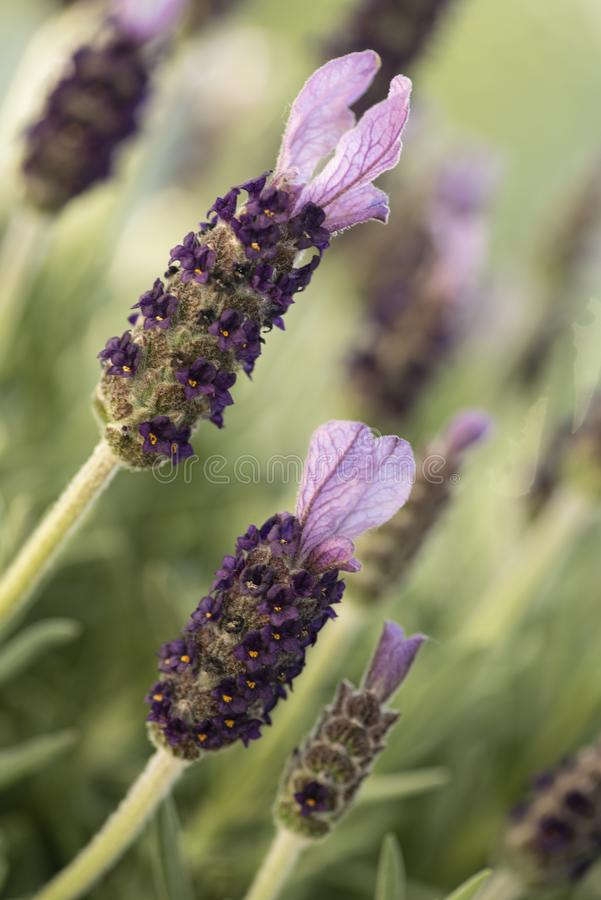 Closeup of a lavender flower stock photography