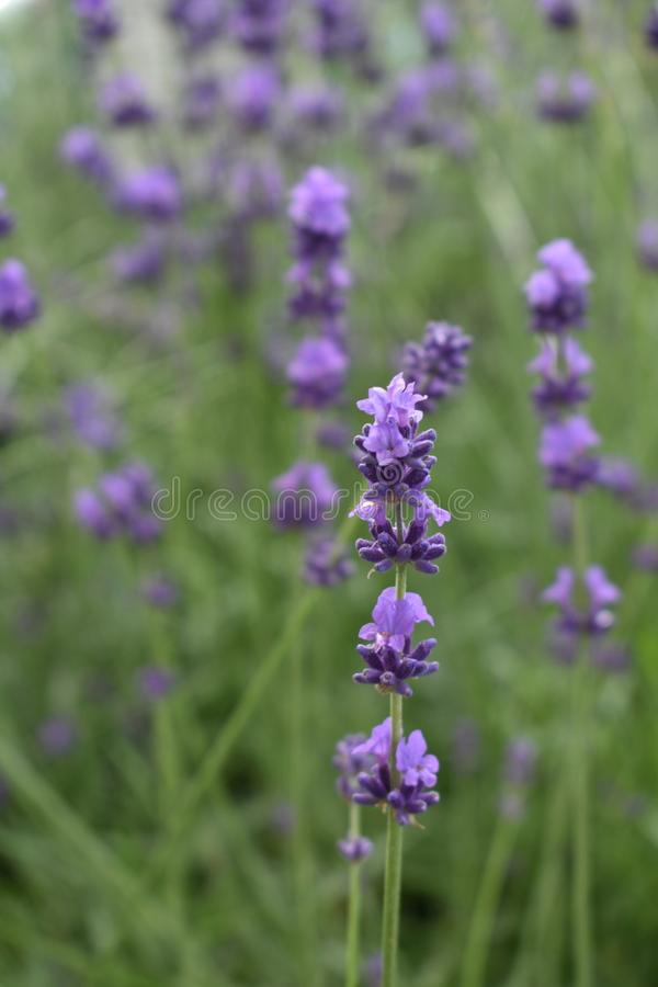 Closeup of lavender flower, shallow depht of field. Closeup of lavender flower lavandula augustifolia, more flowers softly out of focus in the background stock image