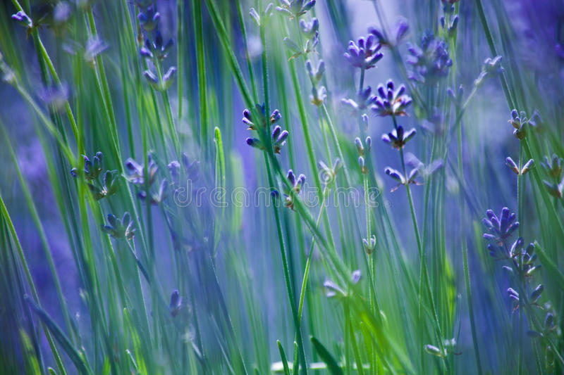 Closeup of lavender flowers background stock photography