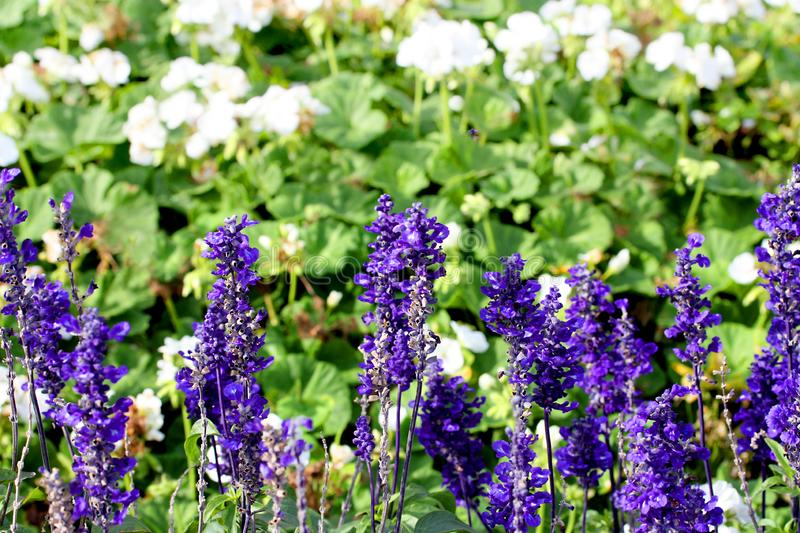A closeup of lavender plants in flowerbed. stock images