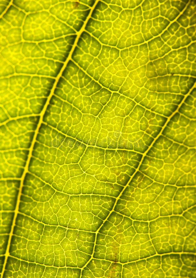 Download Closeup leaf stock image. Image of beauty, epidermis, chloroplast - 2033523