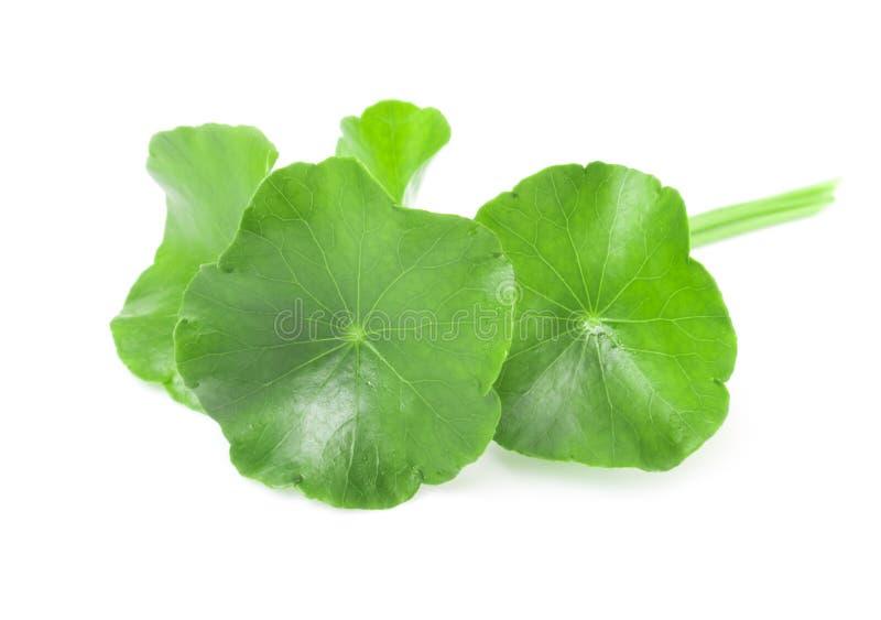 Closeup leaf of Gotu kola, Asiatic pennywort, Indian pennywort o royalty free stock image