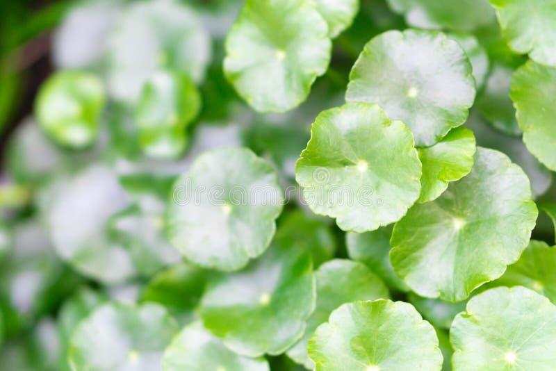 Closeup leaves of Gotu kola, Asiatic pennywort, Indian pennywort with sun light, herb and medical concept, selective focus stock photos