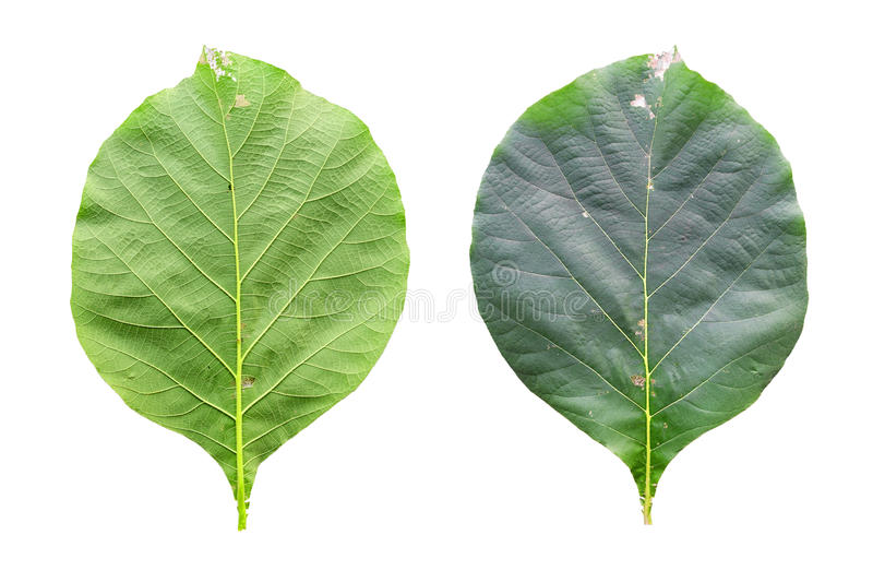 Closeup leaves of teak. (Tectona grandis) isolated on white background royalty free stock photography