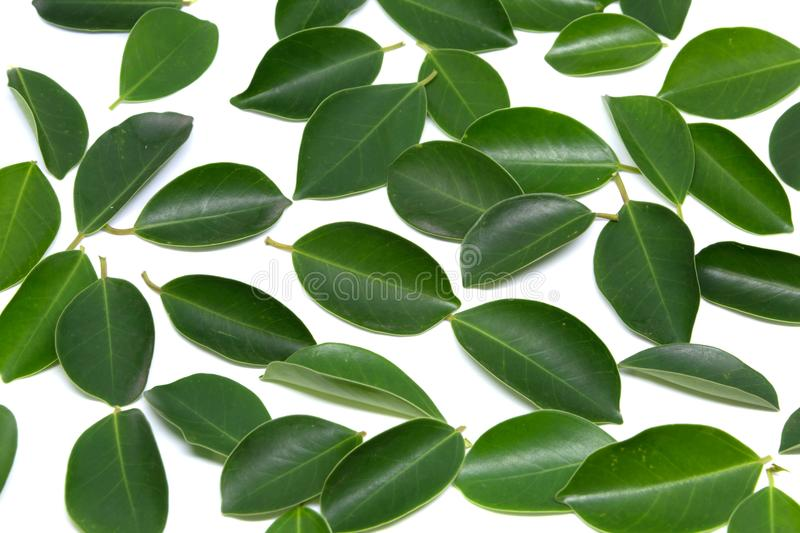 Closeup Leaves Trees isolated on white backgrounds. Leaves stock photography