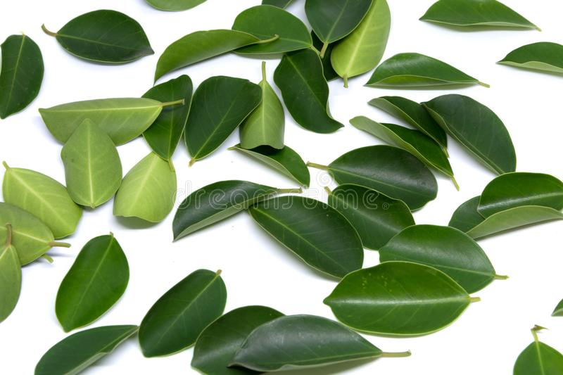 Closeup Leaves Trees isolated on white backgrounds. Leaves stock images
